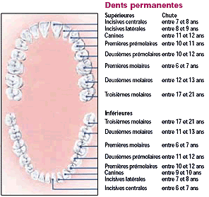 dents permanente